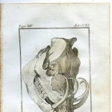Arte: CABEZA BABIRUSA. HISTORIA NATURAL DE BUFFON, ZOOLOGÍA, GRABADO DE 1796 COLOREADO ÉPOCA. SIGLO XVIII. Lote 39042906