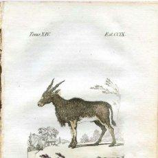 Arte: CANNA. HISTORIA NATURAL DE BUFFON, ZOOLOGÍA, GRABADO DE 1796 COLOREADO ÉPOCA. SIGLO XVIII. Lote 39042979