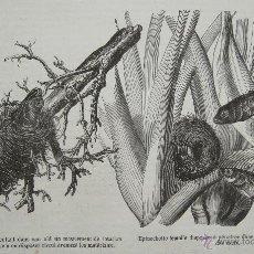 Arte: GRABADO ANTIGUO \ PECES ESPINOSOS - CREACIÓN DE NIDO Y PUESTA DE HUEVOS (1849). Lote 40975261