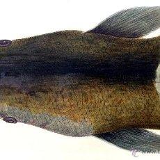 Arte: CABEZA DEL MUGLE, GRABADO 1785, JUAN BAUTISTA BRÚ DE RAMÓN. ILUMINADO DE ÉPOCA. Lote 47427083