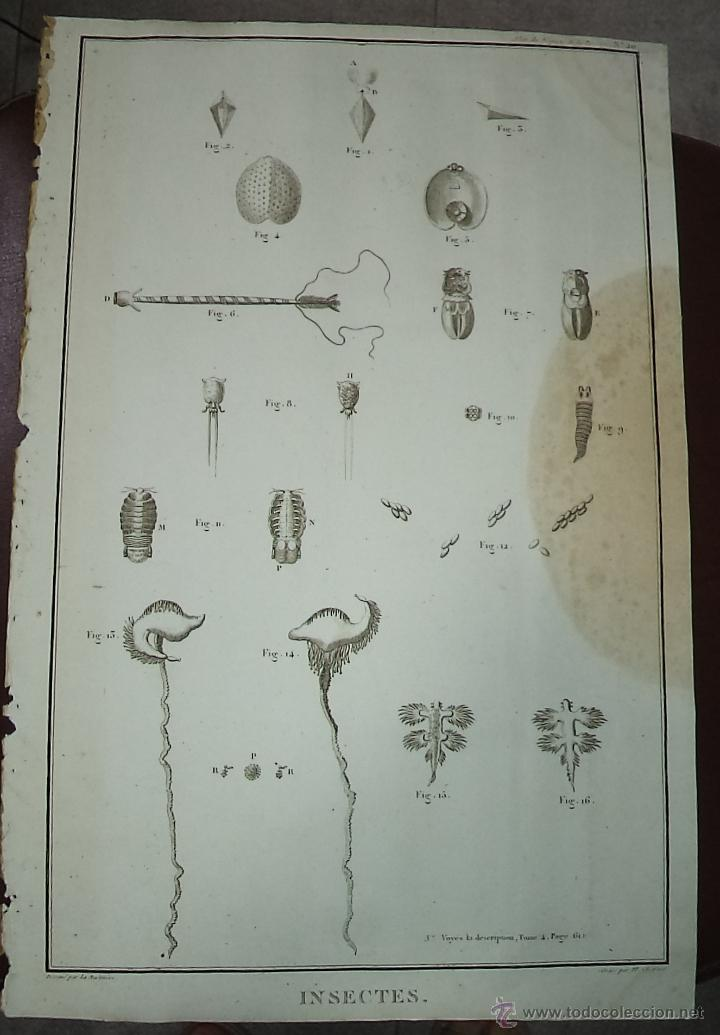 PEROUSE. GRAVÉ DU INSECTES. Nº 20. AÑO 1787 (Arte - Grabados - Antiguos hasta el siglo XVIII)