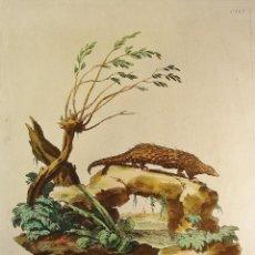 Arte: GRABADO ANIMALES. PANGOLINO. PLANCHA DE COBRE. COLOREADO A MANO. NUMERADO. Lote 55657564