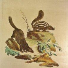 Arte: GRABADO ANIMALES. COASO - CONEPATO PLANCHA DE COBRE. COLOREADO A MANO. NUMERADO. Lote 55659188