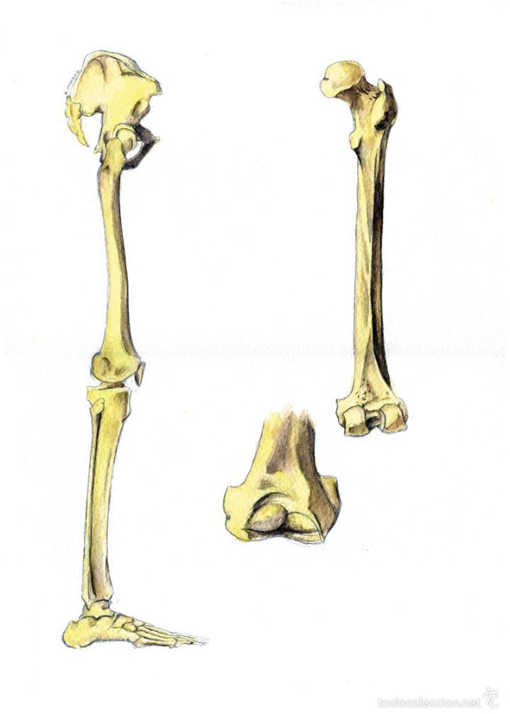 fémur. acuarela sobre papel. anatomía, huesos, - Comprar Grabados ...