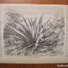 Arte: PLANTA DE AGAVE (MÉXICO), CIRCA 1860. Lote 77669213