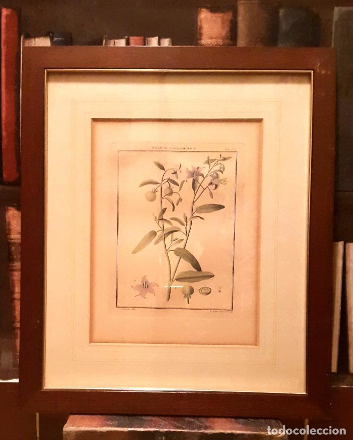 antonio jose de cavanilles - grabado botánica - - Comprar Grabados ...