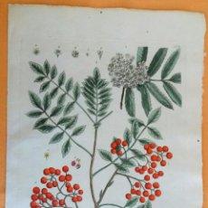Arte: GRABADO ANTIGUO DE BOTANICA HERBARIO BLACKWEL 1750 ORIGINAL CERTIFICADO. GRABADOS ANTIGUOS BOTÁNICA. Lote 80269345