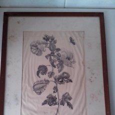 Arte: GRABADO DE MARIA SIBYLLAN MERIAN KTEMIA BRASILIENSIS. Lote 83802824