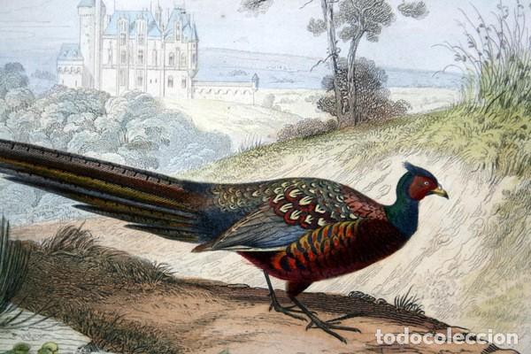 Arte: EL FAISAN - GRABADO COLOR DE 1856 - ORIGINAL - 240x151mm - Foto 2 - 85250308