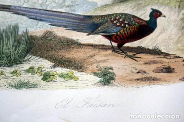 Arte: EL FAISAN - GRABADO COLOR DE 1856 - ORIGINAL - 240x151mm - Foto 3 - 85250308