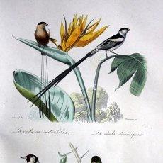 Arte: PAJAROS - VIUDA - JILGUERO - VERDERON - GRABADO COLOR DE 1856 - ORIGINAL - 238X152MM. Lote 85251636
