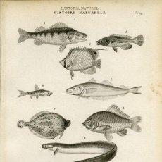 Arte: UN GRABADO ORIGINAL SIGLO XIX . HISTORIA NATURAL.PECES. Lote 86389556