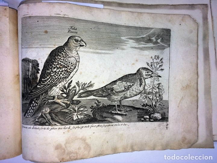 Arte: DIVERSAE AVIUM SPECIE STUDIOSISSIME AD VITAM DELINEATAE. ED. JOLLAIN. PARIS. CIRCA 1680 - Foto 32 - 90037432