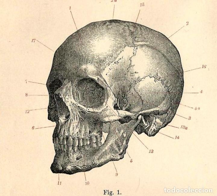 craneo sistema óseo calavera medicina anatomía - Comprar Grabados ...