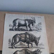 Arte: GRABADO DE MERIAN JONSTON - 1657 - ORIGINAL DEL EPOCA. Lote 117121423