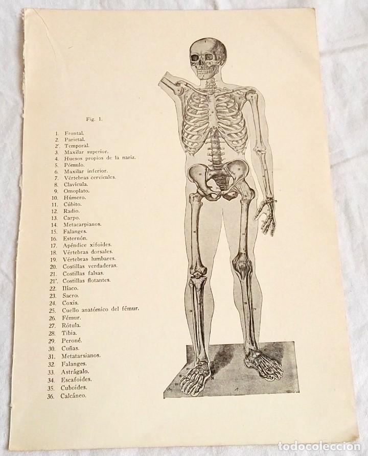 antiguo grabado medicina - cuerpo humano - esqu - Comprar Grabados ...