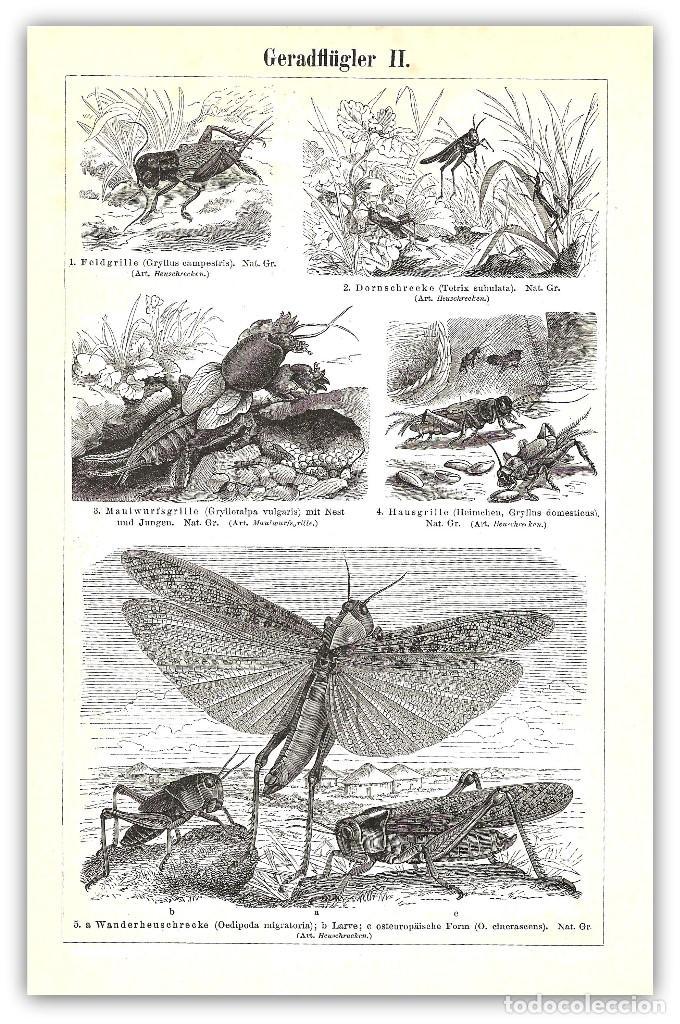 grabado original siglo xix- ortopteros - insect - Comprar Grabados ...