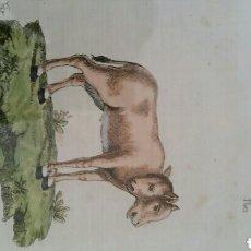 Arte: GRABADO 1784 ''TERNERA DE DOS CABEZAS'' JUAN BAUTISTA BRU DE RAMON ( ESCUELA F.BAYEAU ) MUY RARO. Lote 131279007