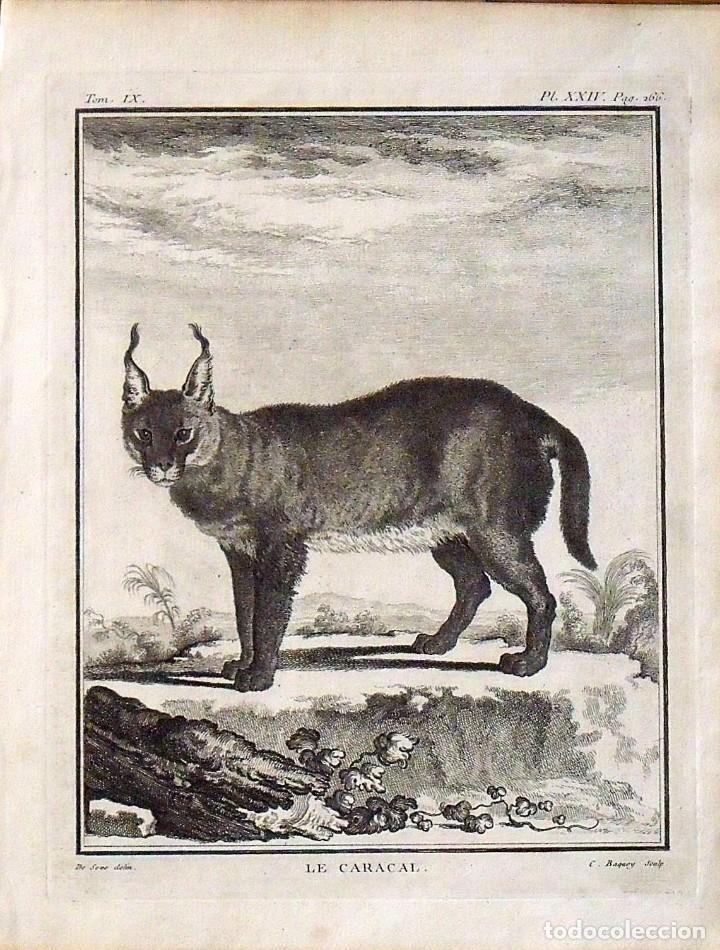 JACQUES DE SEVE. GRABADO LE CARACAL. 1761. HISTOIRE NATURELLE DE BUFFON. 25X19 CM. EN BUEN ESTADO. (Arte - Grabados - Antiguos hasta el siglo XVIII)