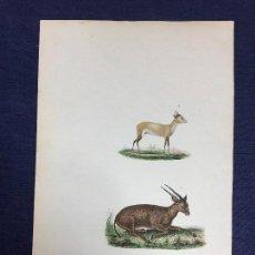 Arte: GRABADO A COLOR ENCICLOPEDIA DE BUFFON F POURRAT ANTÍLOPE HISTORIA NATURAL S XIX. Lote 149145294