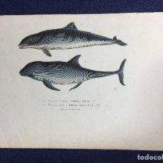 Arte: GRABADO COLOR HISTORIA NATURAL DELFINES DELPHIUS F POURRAT ENCICLOPEDIA BUFFON S XIX. Lote 149150966