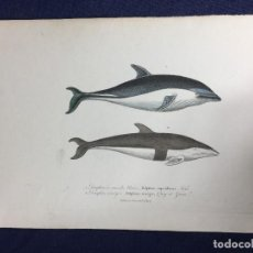 Arte: GRABADO A COLOR DE F POURRAT HISTORIA NATURAL BUFFON DELFINES BLANCOS S XIX. Lote 149156502
