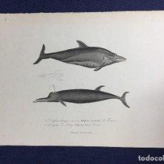 Arte: GRABADO ANTIGUO DE F POURRAT DELFINES HISTORIA NATURAL ENCICLOPEDIA BUFFON S XIX. Lote 149292046