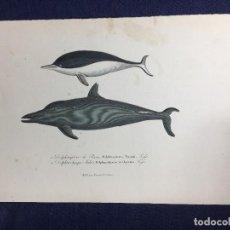 Arte: GRABADO A COLOR DE F POURRAT ENCICLOPEDIA BUFFON DE HISTORIA NATURAL PARÍS S XIX . Lote 149325878