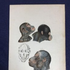 Arte: ANTIGUO GRABADO COLOR POURRAT HISTORIA NATURAL CHIMPANCÉ ORANGUTÁN CRÁNEO ENCICLOPEDIA BUFFON S XIX. Lote 149961066