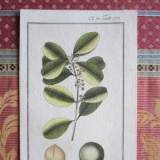 Arte: 1790-CALOPHYLLUM CALABA.PALO MARÍA.ÁRBOL MEDICINA,ÁRBOLES.SE USABA COMO DIURÉTICO EN GRANADA,BOTÁNIC. Lote 156708270