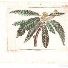 Arte: GRABADO BOTÁNICA EL CASTAÑO SIGLO XVII-XVIII. Lote 156760626