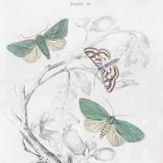 Arte: PEQUEÑO GRABADO ILUMINADO, W.H. LIZARS 1836. POLILLAS. NYMPHULA NITIDULATA, PSEUDOIPS PRASINANA, &C.. Lote 177936817