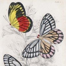 Arte: PEQUEÑO GRABADO ILUMINADO, DE W.H. LIZARS, 1837. MARIPOSAS DIURNAS EXÓTICAS. PIERIS EPICHARIS, &C.. Lote 177937055