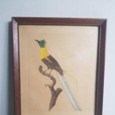 Arte: LITOGRAFIA AVE DEL PARAISO. Lote 182009547