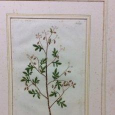 Arte: GRABADO SIGLO XVI DE BOTÁNICA,ARBUSTO BALSAMI-RARÍSIMO -MEDIDA 36X26 CM. Lote 182527430
