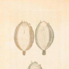 Arte: CRÍAS DE LENGUADOS VISTOS POR SU VIENTRE, JUAN BAUTISTA BRU, S.XVIII.. Lote 183256880