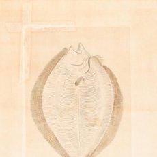 Arte: RODABALLO DE ROCA VISTO POR SU VIENTRE, JUAN BAUTISTA BRU, S.XVIII.. Lote 183258433