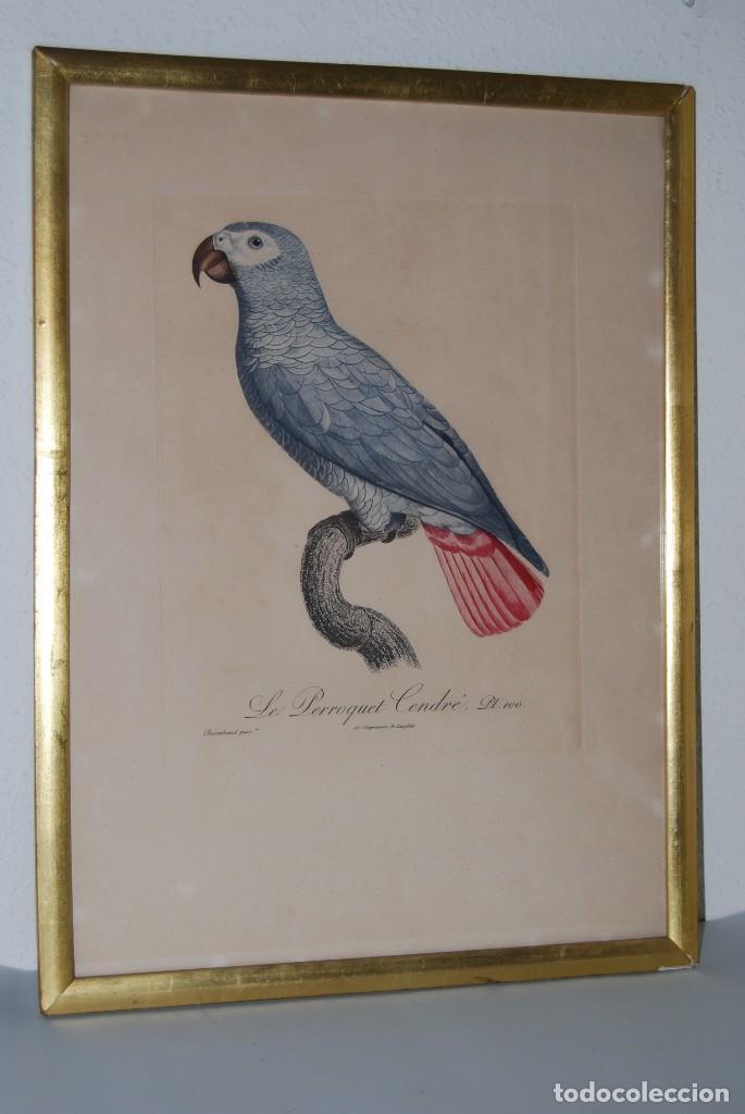 GRABADO LORO - LE PERROQUET CENDRÉ - JACQUES BARRABAND PINX. (Arte - Grabados - Modernos siglo XIX)
