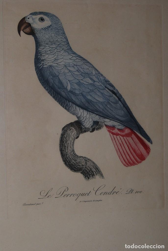 Arte: GRABADO LORO - LE PERROQUET CENDRÉ - JACQUES BARRABAND PINX. - Foto 2 - 189701476