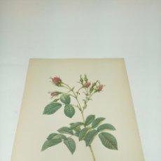 Arte: GRABADO FLORAL A COLOR. ROSA EVRATINA. P.J. REDOUTÉ PINX. IMPRIMIERE DE RÉMOND. LANGLOIS SULP. 41X31. Lote 192960622