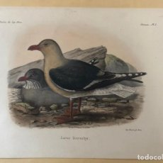 Arte: HISTORIA NATURAL. LITOGRAFÍA COLOREADA. MISSION DU CAP HORN. 1882-1883. Lote 195268482