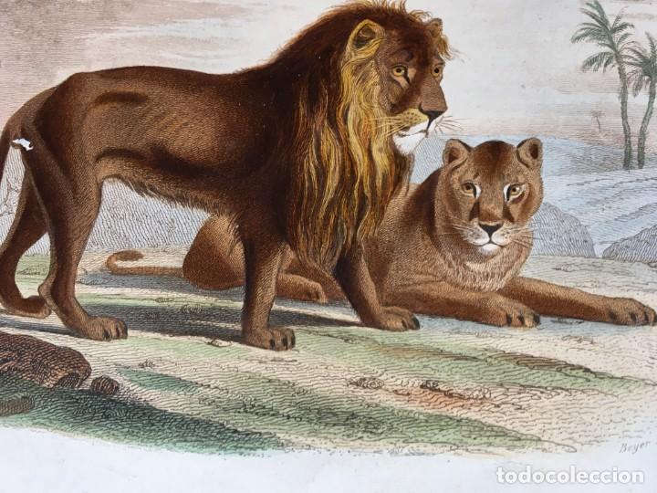 LITOGRAFÍA GRABADO COLOR - LEÓN Y LEONA - 1856 - 235X148 MM - ORIGINAL (Arte - Grabados - Modernos siglo XIX)