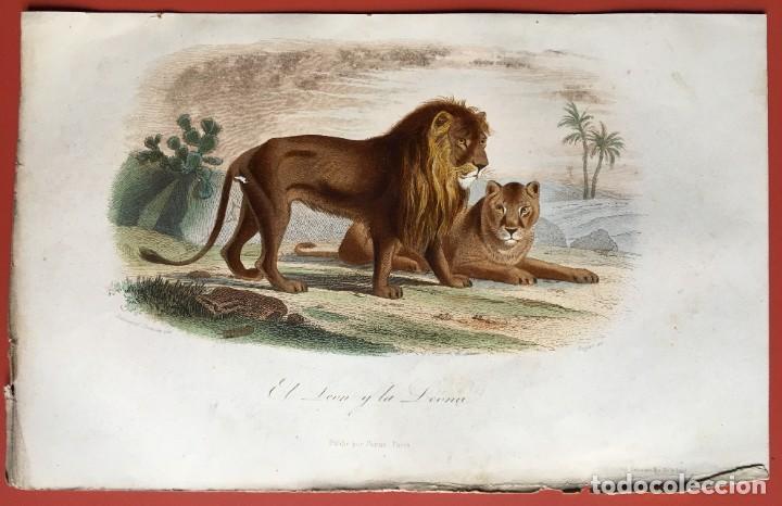 Arte: LITOGRAFÍA GRABADO COLOR - LEÓN Y LEONA - 1856 - 235x148 mm - ORIGINAL - Foto 2 - 197994443