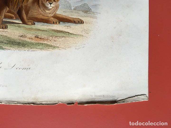 Arte: LITOGRAFÍA GRABADO COLOR - LEÓN Y LEONA - 1856 - 235x148 mm - ORIGINAL - Foto 4 - 197994443