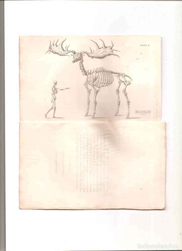 1744. LIZARS. FOSIL CIERVO GIGANTE (Arte - Grabados - Modernos siglo XIX)
