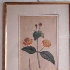 Arte: ESPECIAL GRABADO DEL BOTÁNICO V. CURTIS 1789. GARDEN LAMBERTH MARSH. ILUMINADO EN ACUARELA A MANO.. Lote 213479993