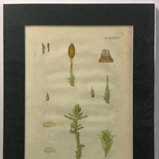 Arte: GRABADO ORIGINAL COLOREADO A MANO. NECKERA PUMILA. BOTÁNICA. 46 X 33 CM.. Lote 221543042