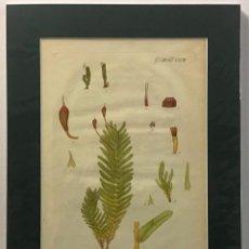 Arte: GRABADO ORIGINAL COLOREADO A MANO. FISSIDENS POLYPODIOIDES. BOTÁNICA. 46 X 33 CM.. Lote 221543207