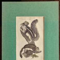 Arte: GRABADO - BARBARY SQUIRREL - VIRGINIAN FLYING Dº- 12,5 X 20,8 CM.. Lote 222030188