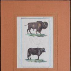Arte: AMERICAN BUFFALO BISON HEAD OF OX 1837- ANIMAL KINGDEM - HOJA: 21, 6 X 13 CM. Lote 222318403